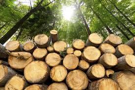 Il legno: dall'albero agli utilizzi industriali